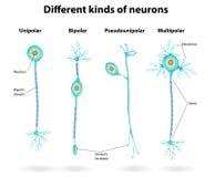 Diversas clases de neuronas Imágenes de archivo libres de regalías