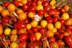 Diversas clases de tomates Fotos de archivo