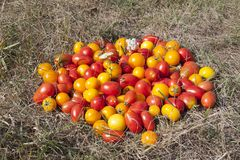 Diversas clases de tomates en una hierba Fotos de archivo