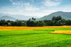 Diversas fases de cultivo del arroz Campos coloridos escénicos del arroz Foto de archivo libre de regalías