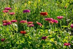 Diversas flores coloridas del cynia en el jardín en un día soleado Disposición de la flor fotos de archivo libres de regalías