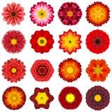 Diversas flores concéntricas rojas de la colección aisladas en blanco Imágenes de archivo libres de regalías