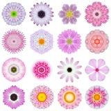 Diversas flores concéntricas rosadas de la colección aisladas en blanco Fotos de archivo libres de regalías