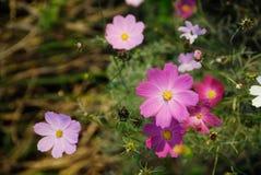 diversas flores del cosmos del color Fotos de archivo