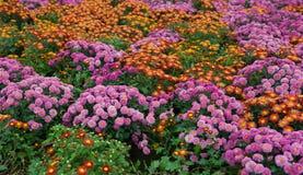 Diversas flores del crisantemo imagenes de archivo