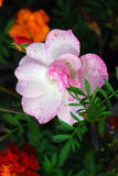 Diversas flores que florecen en el jardín del verano Imagenes de archivo