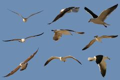 Diversas gaivotas Fotografia de Stock Royalty Free