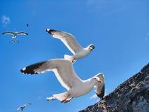 Diversas gaivotas bonitas voam no céu Fotos de Stock