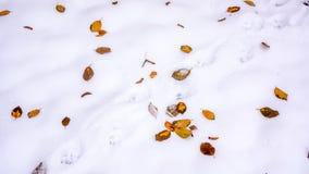 Diversas hojas de otoño muertas secas rojas de oro de Borgoña el invierno limpian la alfombra blanca de la nieve Hojas del rojo e Fotos de archivo libres de regalías