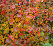 Diversas hojas del colorfull y bayas del blak en las plantas que son mojadas de la precipitación Imágenes de archivo libres de regalías