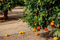 Diversas laranjas em uma árvore fotos de stock royalty free