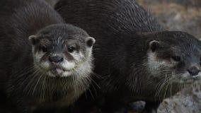 Diversas lontras de rio correm e gritam em rochas video estoque