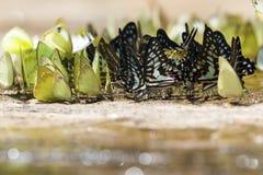 Diversas mariposas de la especie en de la tierra Imagen de archivo libre de regalías