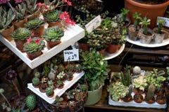 Diversas pequeñas plantas suculentas coloridas en los potes en el mercado de la flor Jardín suculento con el foco selectivo fotos de archivo