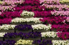 Diversas petunias del color Imagen de archivo libre de regalías