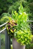 Diversas plantas ornamentales en maceta con Canna, ortiga coloreada rojo, blumei del coleo Foto de archivo