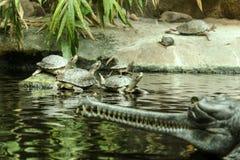 Diversas tartarugas da água estão estando na pedra fotografia de stock