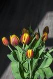 Diversas tulipas vermelhas e amarelas com gotas da água Fotografia de Stock Royalty Free