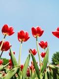 Diversas tulipas vermelhas no fundo do céu azul Imagens de Stock Royalty Free