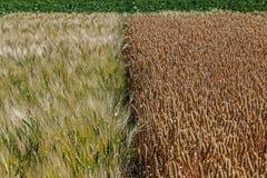 Diversas variedades de trigo Fotos de archivo libres de regalías