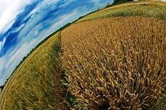 Diversas variedades de trigo en la opinión de Fisheye Fotografía de archivo libre de regalías
