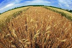 Diversas variedades de trigo en la opinión 6 del Pescado-ojo Fotos de archivo libres de regalías