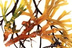 Diverse bruine algen royalty-vrije stock afbeeldingen