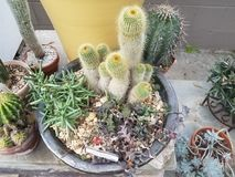 Diverse cactus met doornen in bloempotten stock afbeeldingen