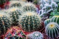 Diverse cactusinstallaties, selectieve nadruk Royalty-vrije Stock Afbeeldingen