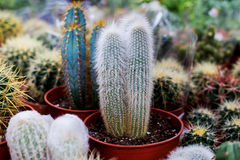 Diverse cactusinstallaties, selectieve nadruk Stock Fotografie