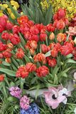 A diverse collection of tulips.Different shapes and colors of flowers royalty free stock photos