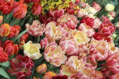 A diverse collection of tulips.Different shapes and colors of flowers royalty free stock image