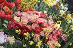 A diverse collection of tulips.Different shapes and colors of flowers stock photography