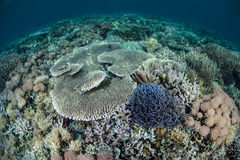 Diverse Coral Reef in Indonesia Stock Image