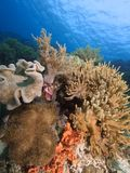 Diverse coral reefs in Raja Ampat. Mixture of colourful soft corals and sponges contrasted against a blue water background. Raja Ampat, wonderful Indonesia Stock Photo