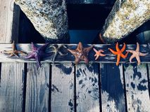 A diverse group of colorful starfish lined up along the docks of Comox, British Columbia, Canada. royalty free stock image