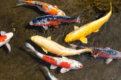 Diverse group of Japanese Koi fish Royalty Free Stock Photography