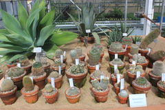 Diverse group of small cacti in Gothenburg botanical garden, cactus, plants, desert, succulent Stock Photography