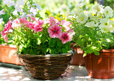 Diverse petuniabloemen royalty-vrije stock foto's