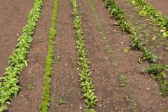 Diverse plantaardige zaailingen in rijen Royalty-vrije Stock Fotografie