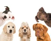 Diverse portretten die van de rassenhond de camera in een vierkant onder ogen zien stock foto's