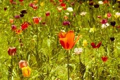 Diverse tulpen Stock Foto