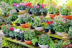 Diverse types van kleurrijke die bloemen in potten op houten plank worden geplaatst Royalty-vrije Stock Afbeelding