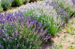 Diverse types van lavendel op een rij stock foto's