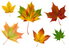 Diverse vector maple leaves Royalty Free Stock Photos