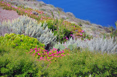 Diverse vegetation on greek island Santorini Stock Photography