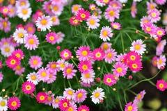 Diverses espèces de fleurs colorées fleurissant pendant le ressort dans le domaine Wintergardens d'Auckland Image libre de droits