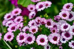 Diverses espèces de fleurs colorées fleurissant pendant le ressort dans le domaine Wintergardens d'Auckland Images libres de droits