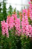 Diverses espèces de fleurs colorées fleurissant pendant le ressort dans le domaine Wintergardens d'Auckland Images stock