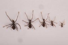 Diverses espèces de fourmis sur le fond blanc Photo libre de droits